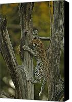 Leopards Canvas Prints - A Young Leopard Practices Her Hunting Canvas Print by Beverly Joubert