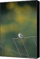 Ruby Throated Canvas Prints - A young ruby-throated Canvas Print by Taylor S. Kennedy