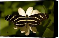 Pavilion Canvas Prints - A Zebra-winged Butterfly At The Lincoln Canvas Print by Joel Sartore