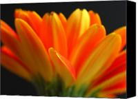 Gerber Canvas Prints - Abstract Gerbera Petals Canvas Print by Juergen Roth