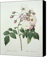Botanical Engraving Canvas Prints - Adelia aurelianensis Canvas Print by Pierre Joseph Redoute