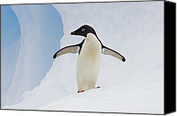 Color Stretching Canvas Prints - Adelie Penguin On Iceberg Canvas Print by Suzi Eszterhas