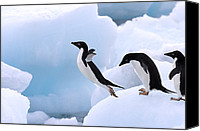 Fn Canvas Prints - Adelie Penguin Pygoscelis Adeliae Canvas Print by Stephen Belcher