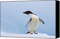 Color Stretching Canvas Prints - Adelie Penguin Standing on Iceberg Canvas Print by Suzi Eszterhas