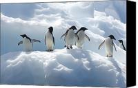 Image Setting Photo Canvas Prints - Adelie Penguins Lined Up On An Iceberg Canvas Print by Tom Murphy