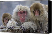 Monkeys Canvas Prints - Adult and two young Canvas Print by Roy Toft