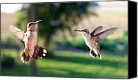 Ruby Throated Canvas Prints - Aerial Ballet Canvas Print by Bill Pevlor