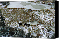 Bull Moose Canvas Prints - Aerial Of A Male And Female Moose Canvas Print by Norbert Rosing