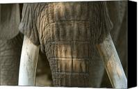 Henry Doorly Zoo Canvas Prints - African Elephant At The Omaha Zoo Canvas Print by Joel Sartore