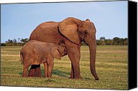 Suckling Canvas Prints - African Elephant Calf Suckling Canvas Print by Peter Chadwick
