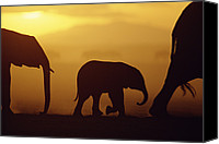 Animals And Earth Canvas Prints - African Elephant Loxodonta Africana Canvas Print by Karl Ammann