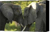 Two Animals Canvas Prints - African Elephants Loxodonta Africana Canvas Print by Joel Sartore