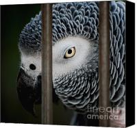 Talking Canvas Prints - African Grey Canvas Print by Robert Meanor