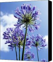 African Lily Canvas Prints - African Lilies (agapanthus Sp.) Canvas Print by Gavin Kingcome