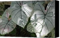 Caladium Photo Canvas Prints - Afternoon Magic Canvas Print by Suzanne Gaff