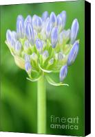 African Lily Canvas Prints - Agapanthus Africanus Flower Canvas Print by Neil Overy