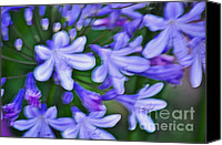 Delicate Bloom Canvas Prints - Agapanthus Canvas Print by Gwyn Newcombe