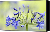 African Lily Canvas Prints - Agapanthus Canvas Print by Jacky Parker