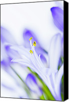 African Lily Canvas Prints - Agapanthus Canvas Print by Kim Fearheiley Photography