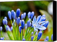 African Lily Canvas Prints - Agapanthus Canvas Print by Kyle Lin