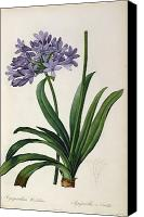 Purple Canvas Prints - Agapanthus umbrellatus Canvas Print by Pierre Redoute
