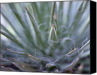 Photo Canvas Prints - Agave Canvas Print by Marcio Faustino