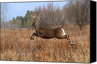 Jim Cumming Canvas Prints - Air Buck Canvas Print by Jim Cumming