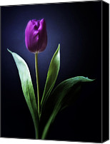 Tulip Mixed Media Canvas Prints - Allegria - Purple Tulip Flower Photograph Canvas Print by Artecco Fine Art Photography - Photograph by Nadja Drieling