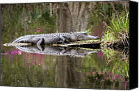 Swamp Canvas Prints - Alligator Sunbathing Canvas Print by Daniela Duncan