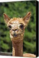 Camelid Canvas Prints - Alpaca Canvas Print by Tony Camacho