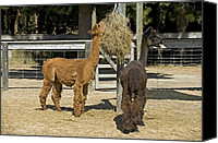Camelid Canvas Prints - Alpacas Canvas Print by Tony Camacho