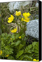 Avens Canvas Prints - Alpine Avens (geum Montanum) Canvas Print by Bob Gibbons