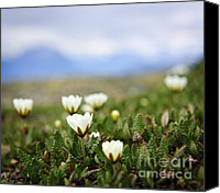 Avens Canvas Prints - Alpine meadow in Jasper National Park Canvas Print by Elena Elisseeva
