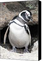 Valdes Canvas Prints - Am i handsome penguin Canvas Print by Maria isabel Villamonte