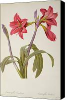 Flowers Drawings Canvas Prints - Amaryllis Brasiliensis Canvas Print by Pierre Redoute