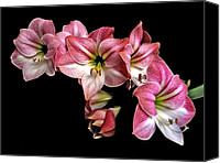 Flower Works Canvas Prints - Amaryllis Cluster. Canvas Print by Chris  Kusik