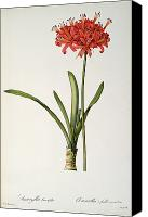 Cutting Canvas Prints - Amaryllis Curvifolia Canvas Print by Pierre Redoute
