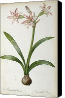 Botanical Engraving Canvas Prints - Amaryllis Vittata Canvas Print by Pierre Redoute