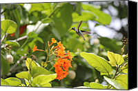 Humming Bird Canvas Prints - Amber Nectar Canvas Print by David Grant