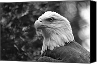 Bald Eagle Canvas Prints - American Bald Eagle Canvas Print by David Rucker