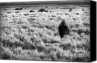 Bison Canvas Prints - American Bison in Black and White Canvas Print by Sebastian Musial