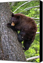 Tree Trunk Canvas Prints - American Black Bear Canvas Print by Rob Daugherty - RobsWildlife.com