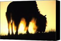 Yellowstone Park Canvas Prints - American Buffalo At Dawn, Yellowstone Canvas Print by Philippe Henry