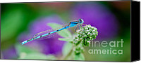 Bluet Canvas Prints - American Common Blue Damselfly Canvas Print by Betty LaRue
