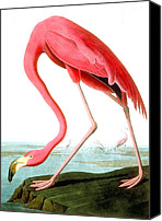 Feathers Painting Canvas Prints - American Flamingo Canvas Print by John James Audubon