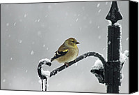 Finches Canvas Prints - American Goldfinch Canvas Print by Cindi Ressler