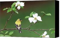 Finch Canvas Prints - American Goldfinch in Dogwood Canvas Print by Alan Lenk