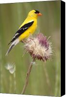 Flower Canvas Prints - American Goldfinch On Summer Thistle Canvas Print by Max Allen