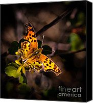 Insect Photography Canvas Prints - American Lady Canvas Print by Robert Bales