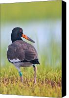 Rachel Carson Canvas Prints - American Oyster Catcher Canvas Print by Bob Decker